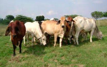 Se inició el sacrificio sanitario de los bovinos afectados con fiebre aftosa