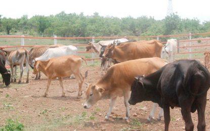 Restringen transporte de ganado en el Magdalena Medio por fiebre aftosa