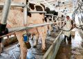 Por aumento de importación de leche en polvo, sector lechero tendrá pérdidas de $621 mil millones