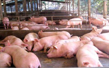 En La Paz, crearán asociaciones para fomentar la producción porcina