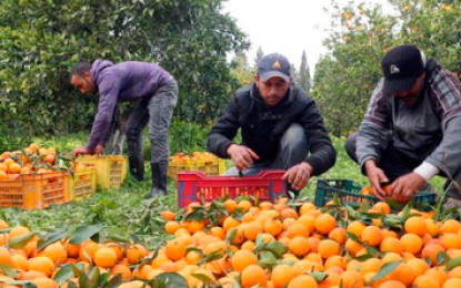 Productores colombianos de cítricos dulces podrán exportar a Los Estados Unidos