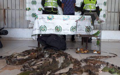 Policía capturó a un adulto y a un adolescente por ofrecer iguanas por internet