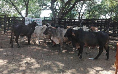 Administradores de fincas vinculados a banda dedicada al hurto de ganado en norte del Cesar