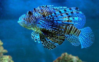 Veneno del pez león disminuiría células cancerígenas