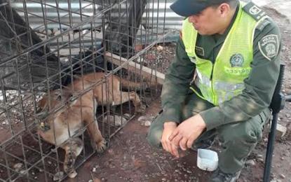 En Codazzi rescatan Puma que asustó a feligreses de una iglesia evangélica