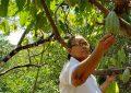Beneficiaria de restitución en Cesar vende cacao a la Nacional de Chocolates