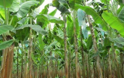 Plan de Contingencia pone en marcha el gobierno nacional frente a rara enfermedad del banano en la Guajira
