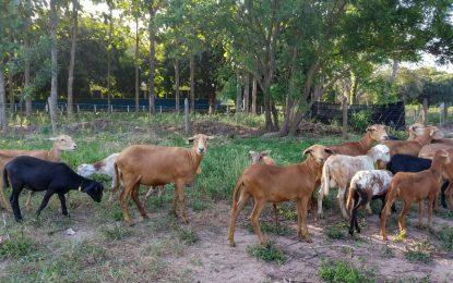 La información genómica, tema de actualidad en la ganadería bovina y ovina en el Caribe