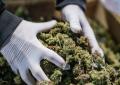 ONU reconoce oficialmente las propiedades medicinales del cannabis