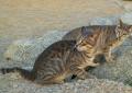 Esta es la razón por la que Australia está exterminando a millones de gatos salvajes